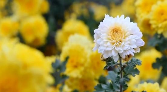 【视频】夏花,扎根于挚爱的热土