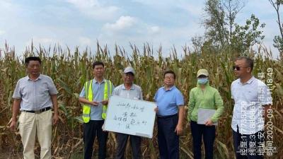 灵璧县高楼镇认真做好政策性农业保险2020年秋季玉米查勘定损工作