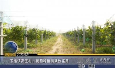 下楼镇高王村:葡萄种植铺就致富路