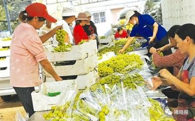 优质葡萄助增收