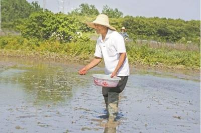 和县农民直播水稻